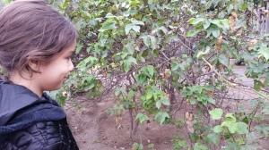 Plantação de algodão marrom - eu nem sabia que existia!
