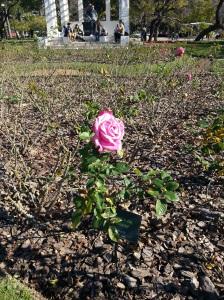 No inverno 2014, poucas rosas no jardim
